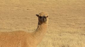An alpaca looking around while standing guard in a dry paddock on an Australian farm.