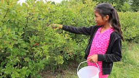 A cute little 9 year old Asian girl picks fresh blueberries for her bucket.