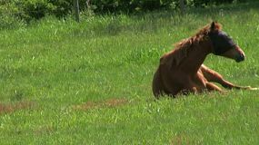 A Brown Horse Rolls Over In A Farmers Field. (HD 1080p30)
