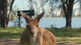 Close up of a kangaroo on Heirisson Island, with the Swan River and Perth City skyline in the background.