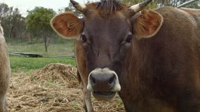 A horned cow looking at the camera and then looking away, on a farm in Western Australia.