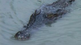 A crocodile swimming in the murky river water.