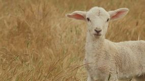 Portrait of a cute newborn lamb in a dry field, looking at the camera.