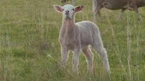 A cute young wiltipoll lamb eating a long piece of grass in a field.