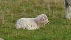 A cute young wiltipoll lamb lying down and resting in a grassy paddock, as another sheep walks past.