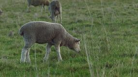 A cute young wiltipoll lamb looking around, while wandering in a grassy paddock.