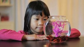 A cute little 5 year old Asian girl feeds her pretty purple Betta fish.