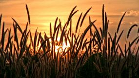 A beautiful sun sets behind tall grass on a breezy day in rural Thailand.