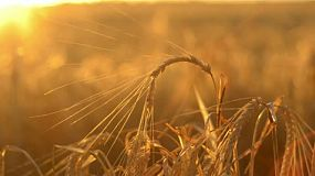 Curved head of barley set against the sunset, the crop ready for harvest on an Australian farm.
