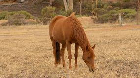 A horse grazing in dry pasture,  in the australian summer, basking in the early morning light.