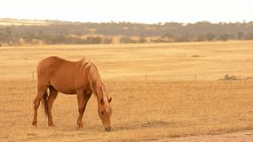 A horse grazing in yellow pasture, dry in the australian summer, in the early morning light.