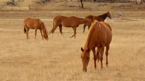 A team of horses grazing in pasture, dried in the Australian summer, basking in the early morning light.