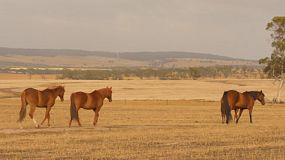 A team of horses wandering and grazing in pasture, dried in the Australian summer, basking in the early morning light.