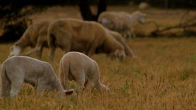 Young lambs grazing with their flock of sheep on dry grass on an Australian farm.