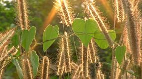 A beautiful sun sets behind tall grass and green vine leaves on a breezy day in rural Thailand.