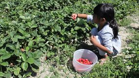A cute little seven year old Asian girls enjoys eating a freshly picked strawberry.