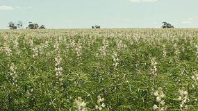 View across a paddock with a crop of lupins on a farm in Western Australia.