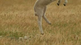 A young lamb suddenly jumps out of frame.