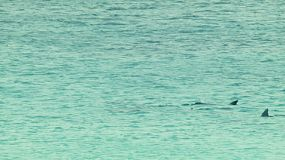 A pod of dolphins swimming past, in the ocean near Esperance, Western Australia.