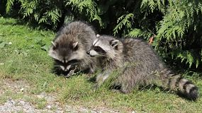 Two raccoons enjoy eating some food together.