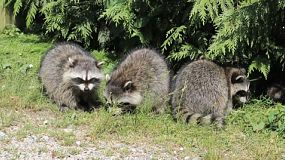 Two raccoons get into a fight over some food near a tree.