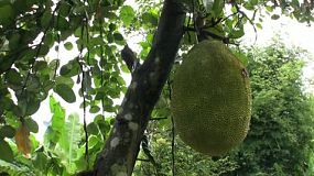 A tilt down shot of ripe Jackfruit in an orchard in Chantaburi, Thailand.