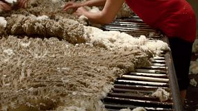 A shedhand fleecing a wool fleece, to remove the bad parts and class the wool, on an Australian farm.