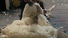A shearer finishing shearing a merino sheep on an Australia farm, with the fleece left on the floor.