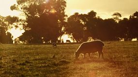 A ewe and lamb grazing in a paddock as the sun starts to set in the background on an Australian farm.