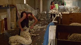 A shearing shearing a sheep, while rousabouts or shedhands collect and process the wool.