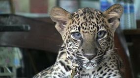 A cute spotted Leopard cub looks at the camera in Western Thailand.