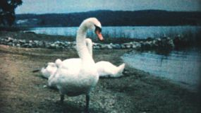 A pretty swan carefully guards her young swanlings on the beach near the lake in 1962.