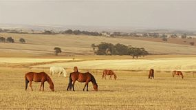 A herd of horses grazing in yellow pasture, dry in the australian summer, with a patch of sunlight moving across the valley to shine on the horses.