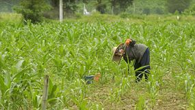 A Thai farmer working the ground in a corn field near Chiang Rai, Thailand.