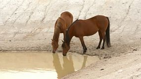 Two horses drinking water from a dam on an australian farm.