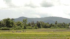 Farmers planting rice by transplanting rice seedlings in Northern Thailand, with the view of mountains in the background.