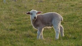 A cute young wiltipoll lamb wandering alone in a grassy paddock.