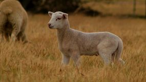 A young lamb standing in a dry field, as other sheep pass behind it, and then walks away. on an Australian farm.