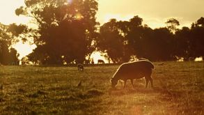 Sheep And Lamb Grazing At Sunset