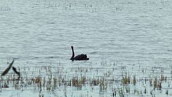 A black swan floating on a lake in Perth, Australia.