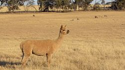 An alpaca standing guard in a dry paddock on an australian farm. alpacas are sometimes used to help gaurd the sheep from predators.