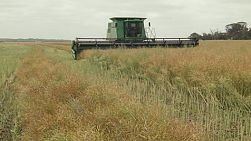 A combine harvester coming towards the camera while swathing a crop of canola on a Western Australian farm.