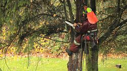 An arborist cuts branches off a tall Douglas Fir tree during the rain.