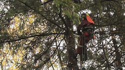 An arborist gets into position in order to cut branches off a tall Douglas Fir tree during the rain.