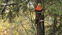 An arborist hoists himself into position in order to cut branches off a tall Douglas Fir tree during the rain.