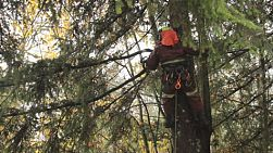 An arborist cuts branches off a tall Douglas Fir tree with a chainsaw during the rain.