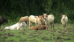 A close up shot of an Asian herd of cattle in Western Thailand.