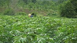 An Asian farmer sprays chemicals on his lush green cassava field in Western Thailand.