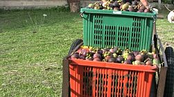 A Thai farmer wheels a cart full of ripe mangosteen fruit on its way to market in Chantaburi, Thailand.