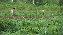 Asian farmers spray chemicals and work in their cassava fields in Western Thailand.